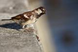 Passer domesticus - domaèi vrabec (IMG_2057ok.jpg)