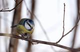Parus caeruleus - sinica plavèek (IMG_2666ok.jpg)