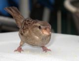 Passer domesticus - domaèi vrabec (IMG_2004ok.jpg)