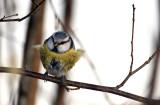 Parus caeruleus - sinica plavèek (nasopirjena ok.jpg)