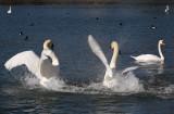 Cygnus olor - swan - labod grbec (ples ok.jpg)