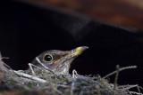 Turdus merula in the nest - samica kosa v gnezdu (skrita ok1.jpg)