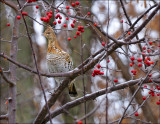 Grouse in Crabapple Tree