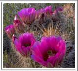 Blooming Cactus.jpg
