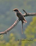Black-Billed Cuckoo in Vermont (1997)