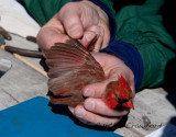 Bird Banding Event in Vermont-a story in photos