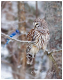 Barred Owl visitor