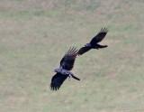 Black Birds...?