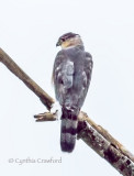 Cooper's Hawk in Vermont