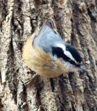 Nuthatches in Vermont