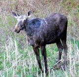 Moose-mange?