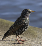 Starling in the sun