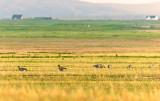 Greylag Geese at Bornais