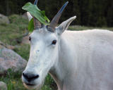 Mountain Goat with Hat