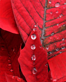 poinsettia raindrops