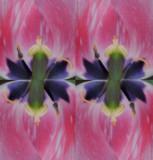 quad tulips