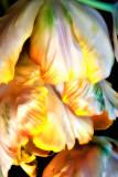 tulip cascade