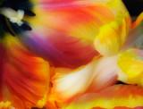 tulip wave