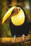 toucan too