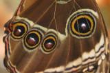 eyes of the moth