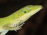 Green Anole (foot details)