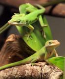 Green Anoles