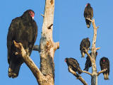 Vultures - Tele-Amatar 400mm