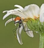 Assassin Bug - Arilus cristatus nymph