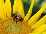 Bumblebee on Sunflower