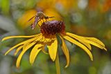Lepidophora lepidocera or related species of 'bee fly' on Rudbeckia