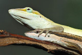 Green Anole/Long Tailed Lizard