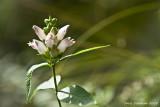 Millsfield Pond Brook Wild Flower