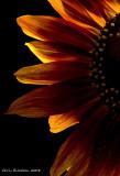 Sunflowers_Macro_2008sep19_114DSC00591 copy.jpg
