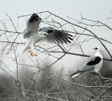 White tailed Kite Pair