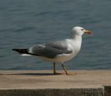 Yellow-legged Gull