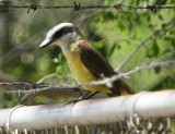 Great Kiskadee argentinus