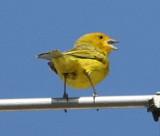 Saffron Finch, male