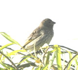 Saffron Finch, female