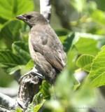 Shiny Cowbird, female