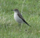 White-browed Ground Tyrant
