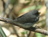 Double-collared Seedeater