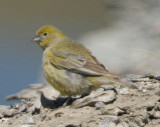 Patagonian Yellow Finch
