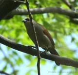 Bay-winged Cowbird