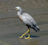 White-faced Egret