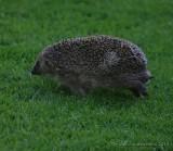 Hedgehogs, Gymnures