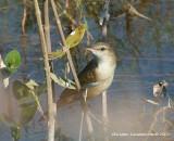 Clamorous Reed Warbler