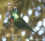 Shining Sunbird, Male