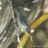 Shining Sunbird, Female