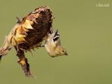 oiseaux_communs_aux_mangeoires