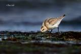 _40C1088 Bécasseau sanderling.jpg
